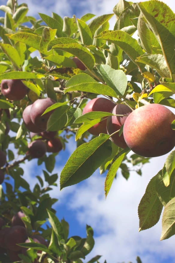 apple_1